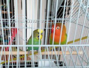 Cohabitation perruche et inséparable