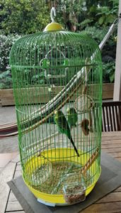 Ko-bis et Ko-ter nos 2 mâles perruches ondulées
